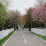 71356429 s 150x150 - 北海道の春の生活25 ~桜 / 円山公園 / 花見~