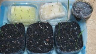 d5f6a72d s 320x180 - 自給自足的生活の準備17 ~お米(稲)の水耕栽培に再挑戦Part3~