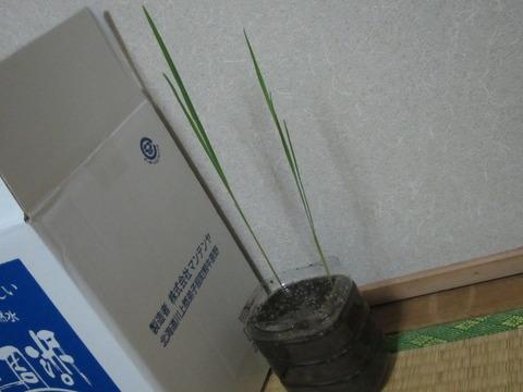 98b86e28 s - 自給自足的生活の準備19 ~お米(稲)の水耕栽培に再挑戦Part5~