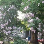 IMG 0056 150x150 - 札幌大通公園 ~ライラック祭り2015~