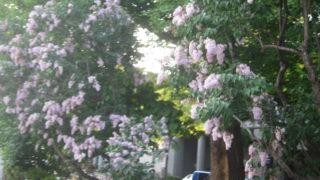 IMG 0056 320x180 - 札幌大通公園 ~ライラック祭り2015~