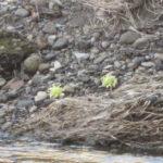 IMG 0012 150x150 - 北海道にも春が来たよーです、ていうか雪解け早いな今年