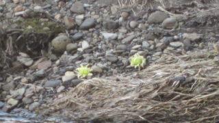 IMG 0012 320x180 - 北海道にも春が来たよーです、ていうか雪解け早いな今年