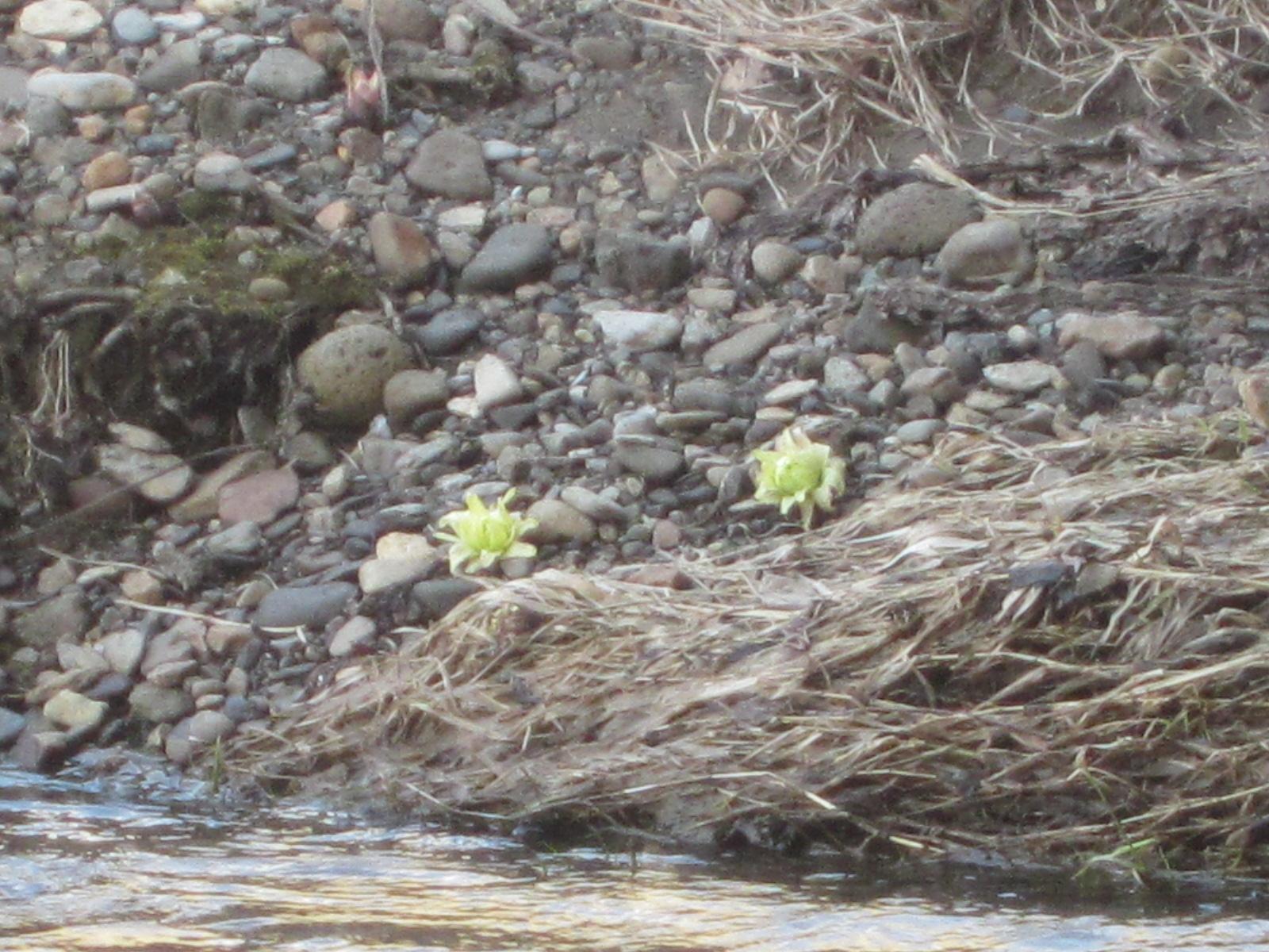 IMG 0012 - 北海道にも春が来たよーです、ていうか雪解け早いな今年