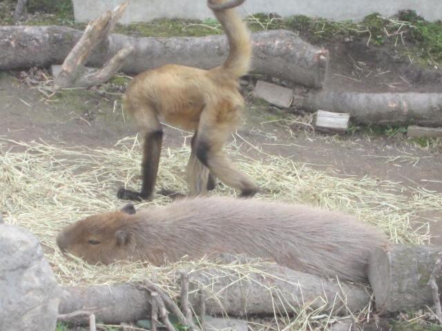 IMG 0079 - 旭山動物園のザンギカレーと動物やら何やら