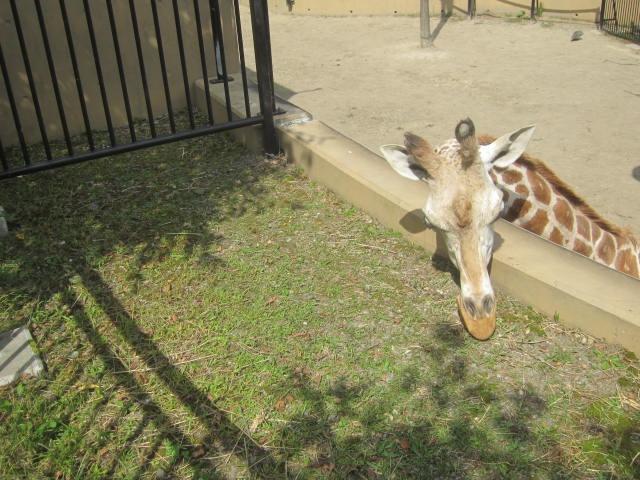 IMG 0084 - 旭山動物園のザンギカレーと動物やら何やら