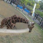 IMG 0085 150x150 - 旭山動物園のザンギカレーと動物やら何やら
