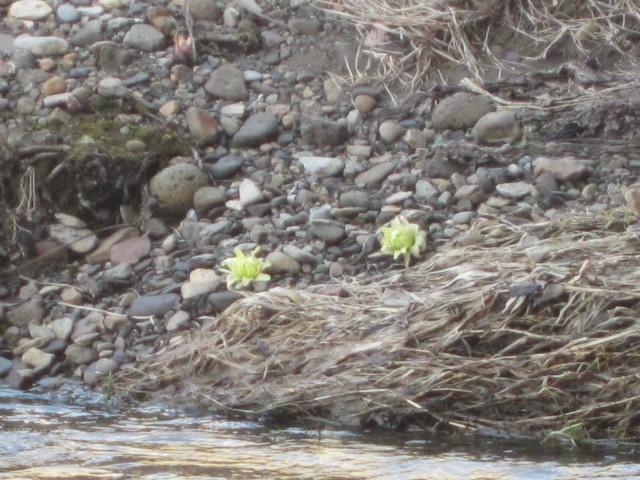 IMG 0012 640x480 - 北海道にも春が来たよーです、ていうか雪解け早いな今年