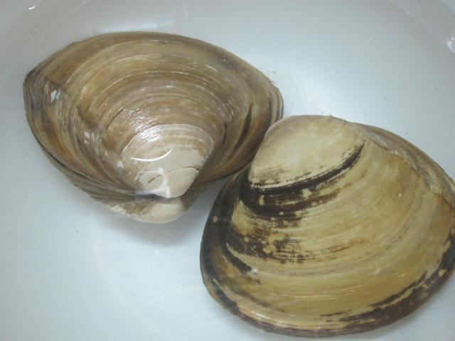 IMG 0010 - 北寄貝(ホッキガイ)を買ってきて家で捌いて食べてみた