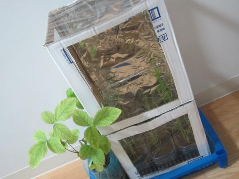 0e332ae7 s - 自給自足的生活の準備25 ~ダンボール温室作って植え替えしたよ!~