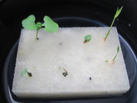 27ce2935 s - 自給自足的生活の準備13 ~お米(稲)の水耕栽培に挑戦Part1~
