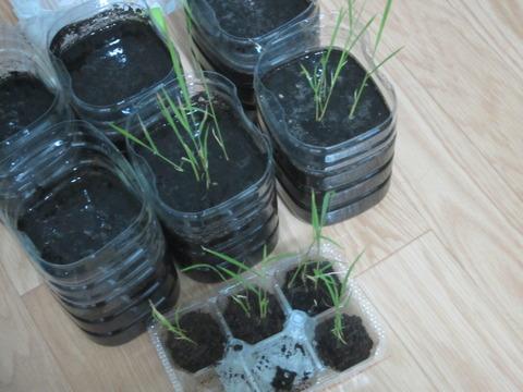 51acfc5c s - 自給自足的生活の準備25 ~ダンボール温室作って植え替えしたよ!~