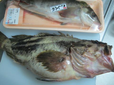 77e9b5b0 s - 1750円のデカいシマゾイと刺身用ホッケを購入してきました