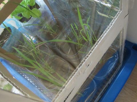 a8449392 s - 自給自足的生活の準備25 ~ダンボール温室作って植え替えしたよ!~
