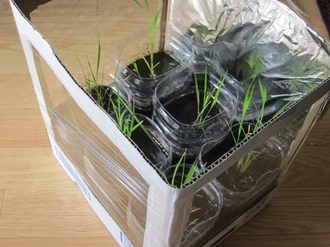 b37c8ea8 s - 自給自足的生活の準備25 ~ダンボール温室作って植え替えしたよ!~