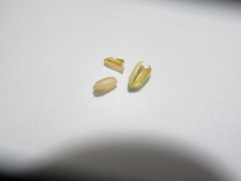 bfcb2103 s - 自給自足的生活の準備22 ~お米(稲)の水耕栽培に再挑戦Part8/成功したよ!~