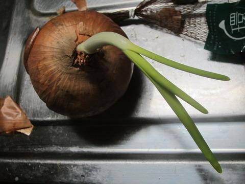f001ae6c s - タマネギから芽が出て成長しちゃってます