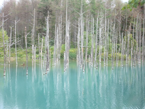 faf06b84 s - 2014富良野旅行Part4 ~「日本で一番美しい道」と青い池~